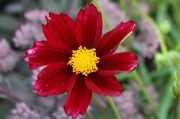 Coreopsis Big Bang 'Mercury Rising' PP24,689