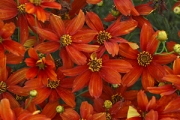 Coreopsis Sizzle & Spice™ 'Crazy Cayenne' PPAF