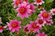 Coreopsis rosea 'Heaven's Gate' PP16,016