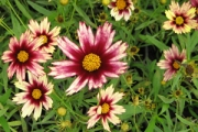 Coreopsis Big Bang 'Red Shift' PP20,412