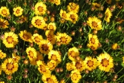 Coreopsis 'Sunfire'