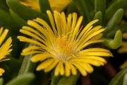 Delosperma  Delmara® Yellow