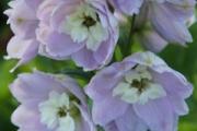 Delphinium 'Magic Fountains Cherry Blossom/White Bee'