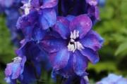 Delphinium elatum 'Guardian Blue'