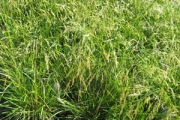 Deschampsia caespitosa 'Schottland'