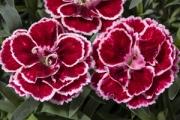 Dianthus Constant Beauty® Crush Burgundy