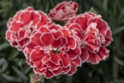 Dianthus Constant Beauty® Crush Orange