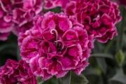 Dianthus Constant Beauty® Crush Rose