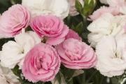 Dianthus Constant Cadence® Peach Milk