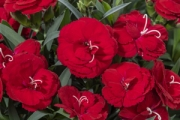 Dianthus Constant Cadence® Red