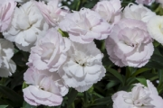 Dianthus Constant Cadence® White