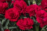 Dianthus Constant Beauty® Red