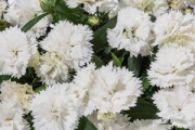 Dianthus Constant Promise® White