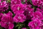 Dianthus Constant Promise® Raspberry