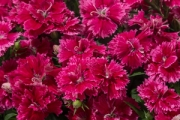 Dianthus Constant Promise® Strawberry