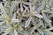 Dianthus 'Edgehog' PPAF
