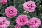 Dianthus 'Pop Star' PP18,222
