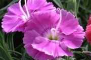 Dianthus 'Shooting Star' PP16,431