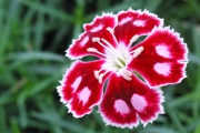 Dianthus 'Spangled Star' PP13,029