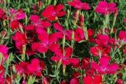 Dianthus deltoides 'Zing Rose'