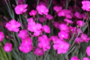 Dianthus gratianopolitanus 'Firewitch' (Feuerhexe)