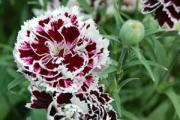 Dianthus plumarius 'Velvet 'n Lace'