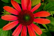 Echinacea Butterfly™ 'Julia' PP24,629