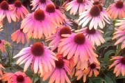 Echinacea Butterfly™ Rainbow Marcella PP28,573