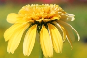 Echinacea Cone-fections™ 'Lemon Drop' PPAF