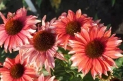 Echinacea Playful Meadow Mama™ PPAF