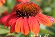 Echinacea Sombrero® Hot Coral PP23,097