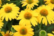 Echinacea Sombrero® Lemon Yellow