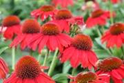 Echinacea Sombrero® Salsa Red PP23,105