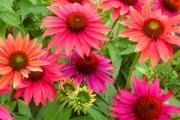 Echinacea Sombrero® Tres Amigos