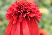 Echinacea purpurea 'Hot Papaya' PP21,022