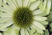 Echinacea purpurea 'Green Jewel' PP18,678