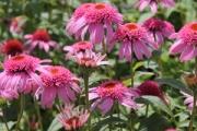 Echinacea purpurea 'Pink Double Delight' PP18,803