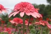 Echinacea purpurea 'Raspberry Truffle' PP22,612