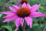 Echinacea purpurea 'Ruby Star'