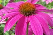 Echinacea purpurea 'PowWow Wildberry'