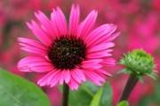 Echinacea purpurea 'Fatal Attraction' PP18,429