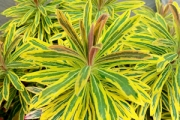 Euphorbia 'Ascot Rainbow' PP21,401