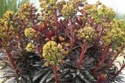 Euphorbia 'Blackbird' PP17,178