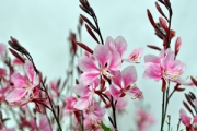 Gaura Bantam® Pink