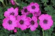 Geranium cinereum 'Carol' PP14,124