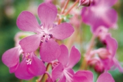 Geranium cantabrigiense 'Crystal Rose' PP20,809