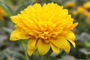Helianthus multiflorus 'Sunshine Daydream' PPAF