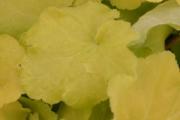 Heuchera villosa 'Citronelle' PP17,934