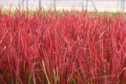 Imperata koenigii 'Red Baron'