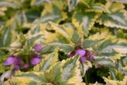 Lamium maculatum 'Anne Greenway'